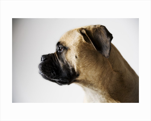 Boxer Dog by Corbis