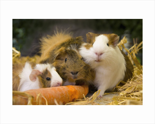 Guinea Pigs With Carrot by Corbis