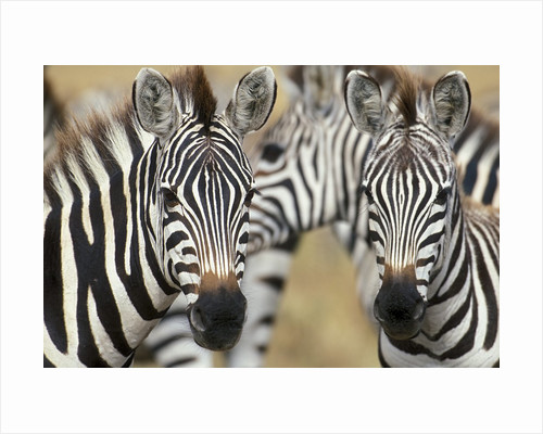 Zebras in Masai Mara National Reserve by Corbis
