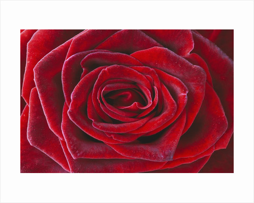 Rosa 'Baccara' Hybrid Tea Rose by Corbis