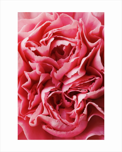 Close-Up of Pink Carnation by Corbis