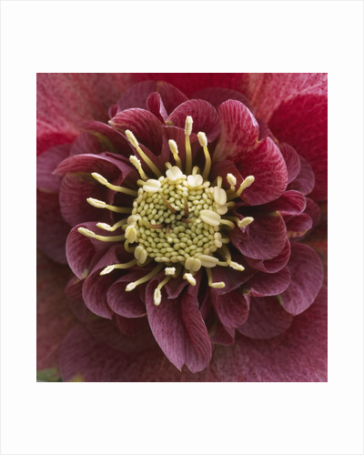 Close-Up of Lenten Rose by Corbis