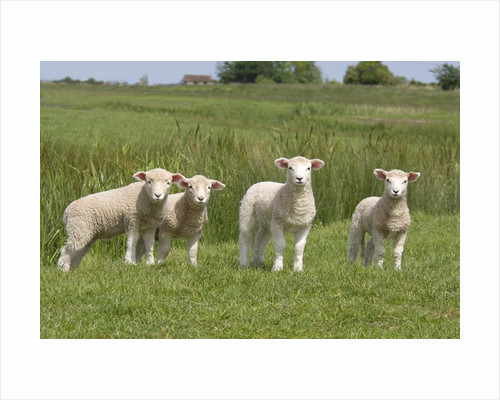 Lambs in Field by Corbis