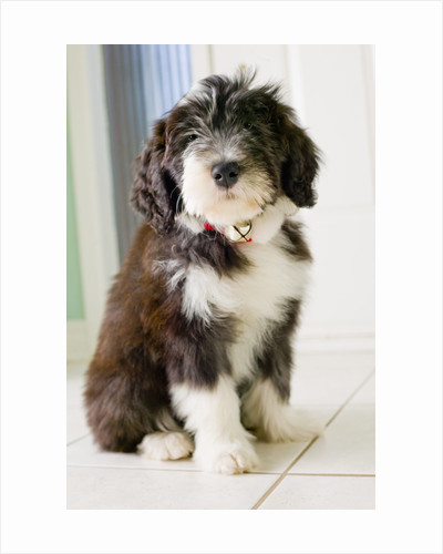 Bearded Collie Puppy by Corbis