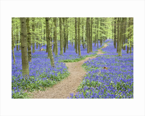 Path Winding Through Beech Forest and Bluebells by Corbis