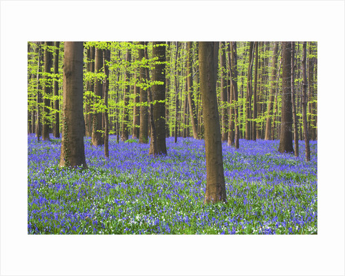 Bluebells Blooming in Beech Forest by Corbis