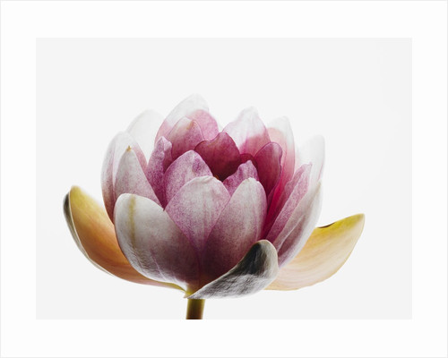 Water lily by Corbis