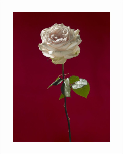 Pale rose on deep red background by Corbis