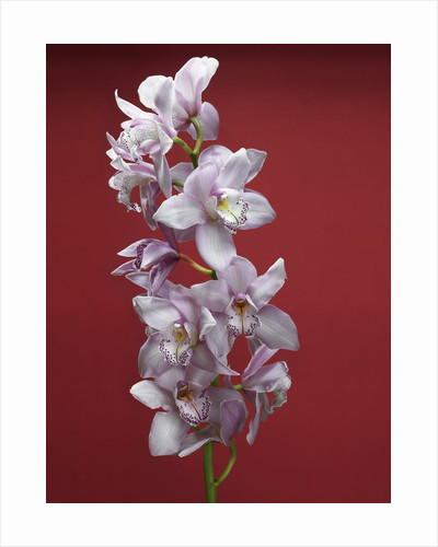 Cattleya orchid by Corbis