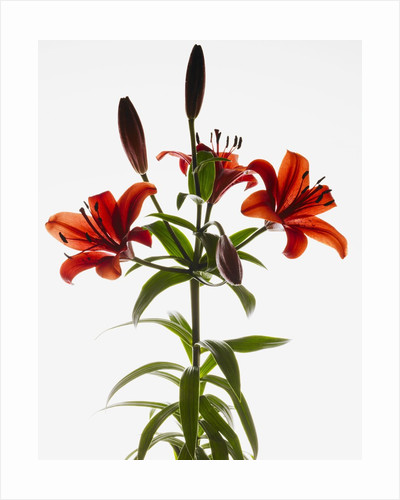 Asiatic lily by Corbis