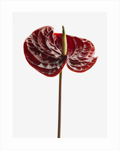 Anthurium by Corbis