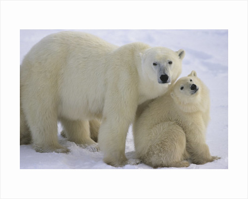 Polar Bear Mother and Cub by Corbis