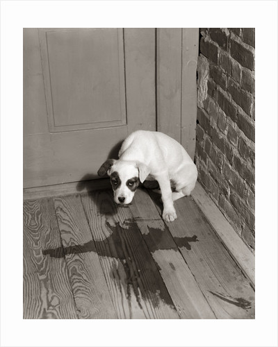 1950s Sad Dog In Corner Ashamed House Training Accident Wooden Floor by Corbis