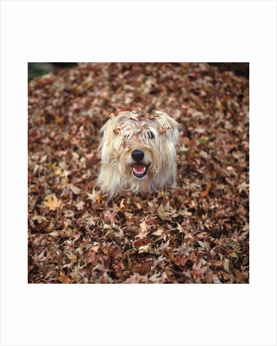 Dog Covered In Leaves Up To His Head by Corbis