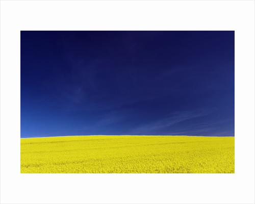 Yellow Field Against Blue Sky by Corbis