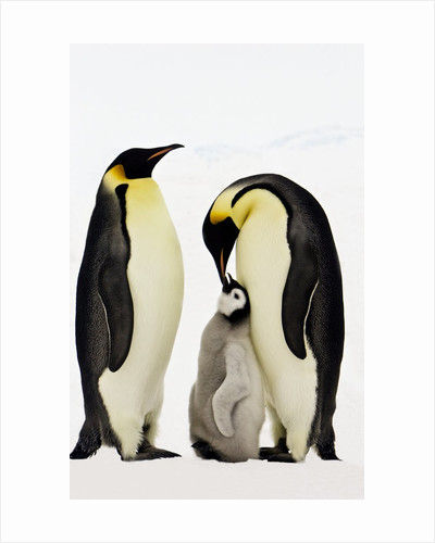 Emperor Penguins Feeding Chick by Corbis