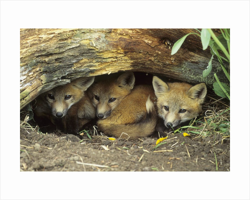 Red Fox Kits Huddled at Den Entrance by Corbis