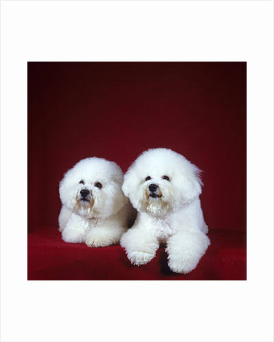 Two Bichon Frise Dogs Lying Down by Corbis