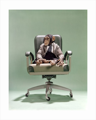 1970s Businessman Chimpanzee Sitting In Office Chair by Corbis