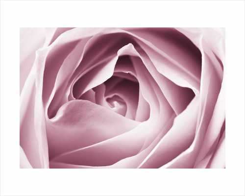 Close-up View of Pink Rose by Corbis