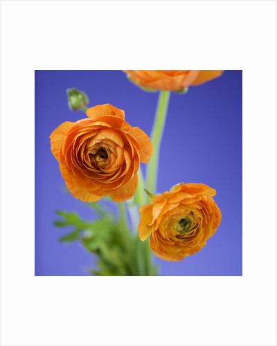 Orange Ranunculus Flowers by Corbis