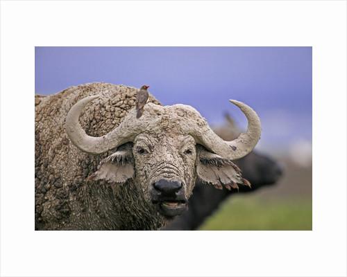 Dirty Buffalo by Corbis