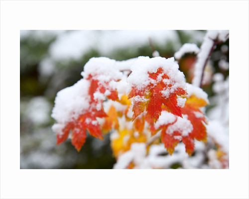 Autumn Leaves Covered in Snow by Corbis