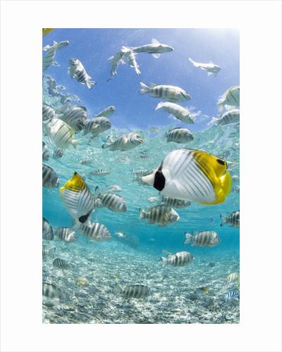 Tropical Fish in Bora-Bora Lagoon by Corbis