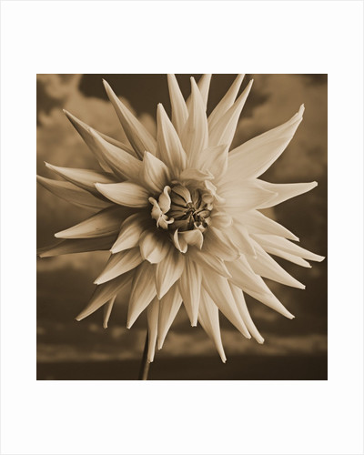 Dahlia with Clouds Behind by Tom Marks