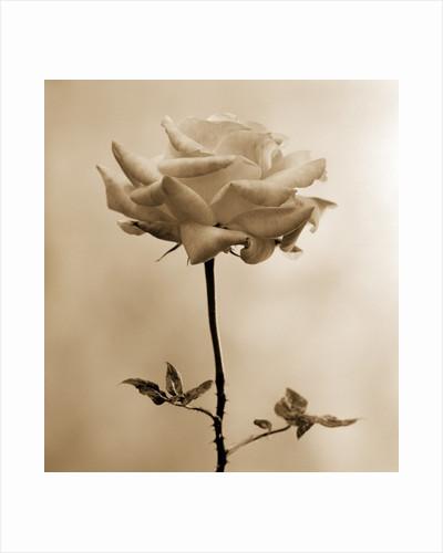 Long-Stemmed Rose by Tom Marks