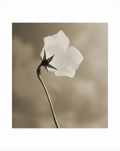 Small White Flower Stands Against Dramatic Sky by Tom Marks