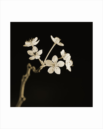 Twig of Tiny Blossoms from Hawthorn Tree by Tom Marks