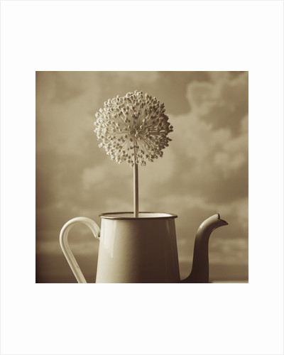 Blooming Allium in Old Metal Coffee Pot by Tom Marks