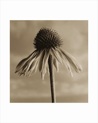 Lone Coneflower by Tom Marks