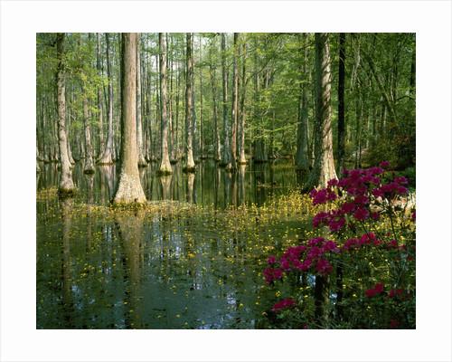 Cypress Gardens in South Carolina by Corbis