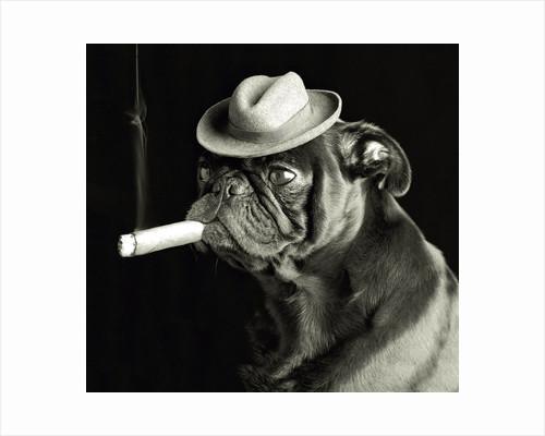 Pug smoking a cigar by Corbis
