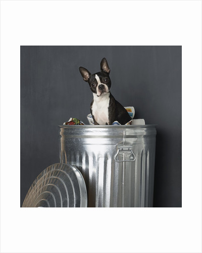 Boston terrier sitting in garbage can by Corbis