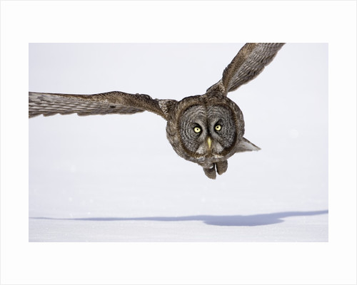 Great Gray Owl Hunting Over Snow by Corbis