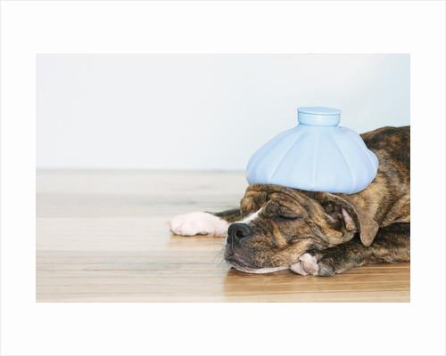 English bulldog feeling sick by Corbis