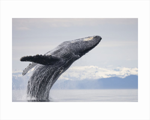 Humpback Whale Breaching in Frederick Sound by Corbis