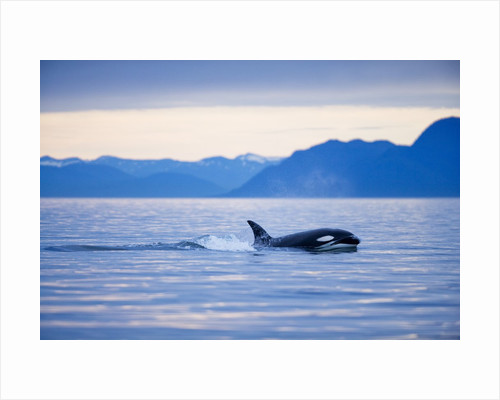 Orca or Killer Whale in Frederick Sound by Corbis