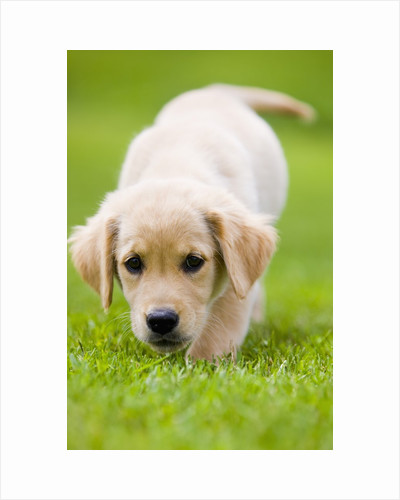 Golden Retriever Puppy Playing Outdoors by Corbis