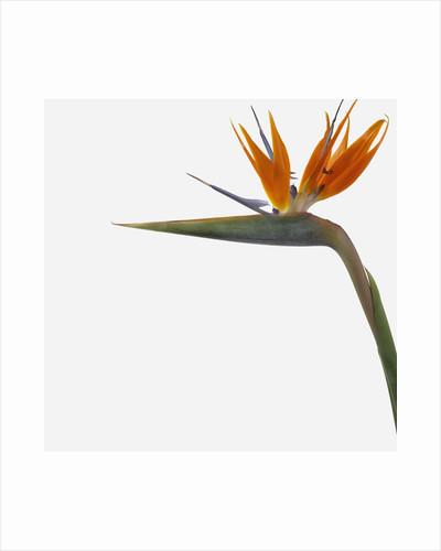 Bird of Paradise Flower by Corbis