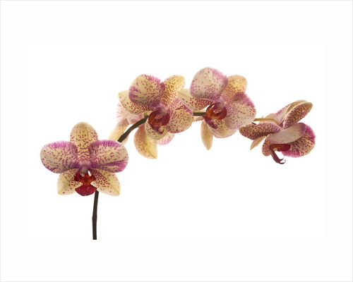 Orchid by Corbis