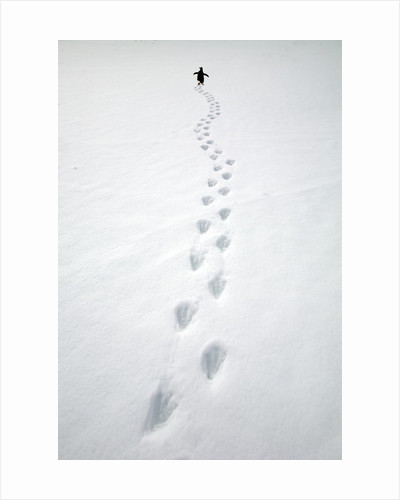 Gentoo Penguin Walking and Leaving Footprints in Snow by Corbis