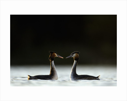 Great Crested Grebes in Courtship Display by Corbis