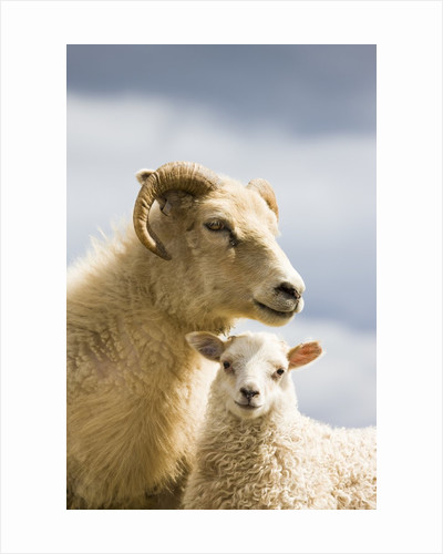 Adult Icelandic Sheep with Lamb by Corbis