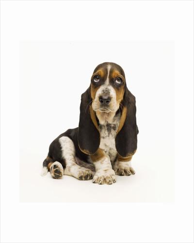 Basset Hound Puppy by Corbis