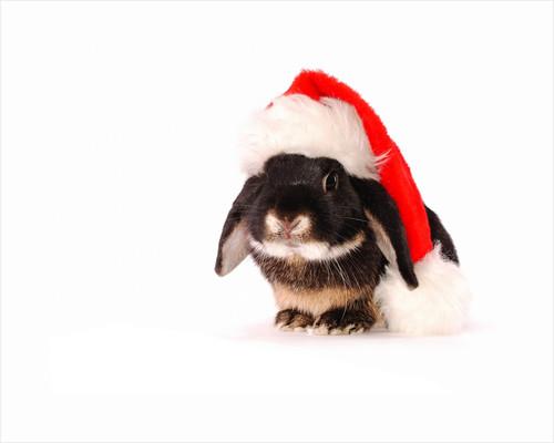 Rabbit in a Santa Hat by Corbis