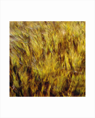 Abstract dry crops by Corbis